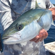 """Summer sees packs of """"rat"""" kingfish invade inshore New Zealand. Perfect candidate for salt water fly fishing."""