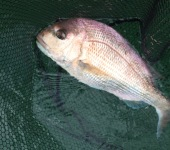 Snapper on salt water fly present a whole different challenge.