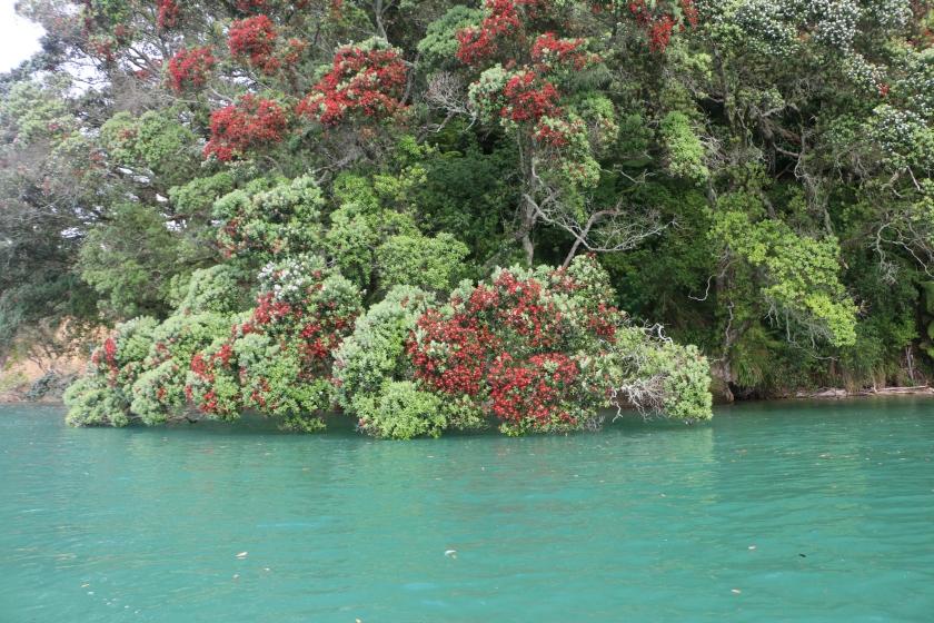 Tauranga harbour, pohutukawa, christmas tree, new zealand
