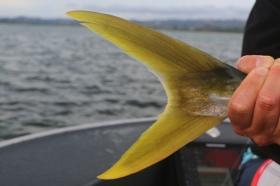 yellowtail kingfish, New Zealand flats fishing, salt fly