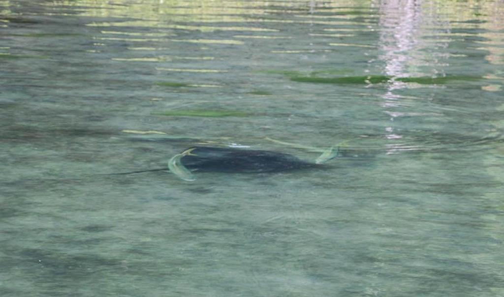Ray Rider Kingfish In Tauranga Harbour